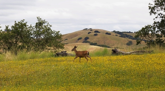 Northern California Deer