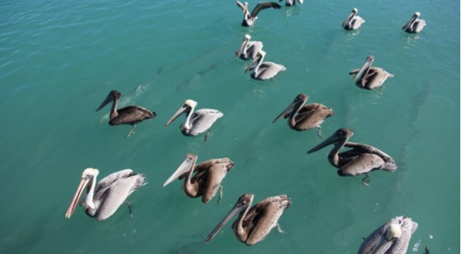 Pelicans swim in Florida waters.